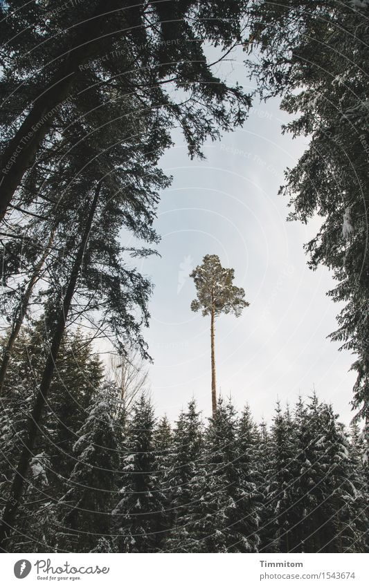 A tall plant. Winter Nature Sky Beautiful weather Snow Tree Virgin forest Black Forest Colour photo Exterior shot Deserted Day