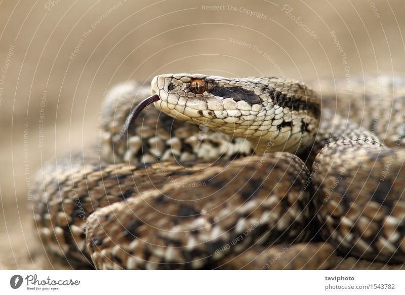 detail of a meadow adder Nature Animal Meadow Snake Wild Brown Fear Dangerous Colour scales Reptiles rakosiensis Photography poisonous Poison wildlife Zoology