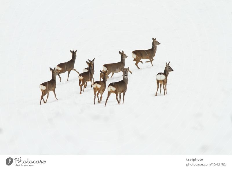roe deer herd on snow Woman Nature Beautiful Landscape Animal Winter Adults Life Natural Snow Group Brown Park Wild Europe Observe