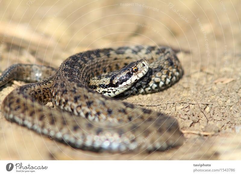 male meadow viper in situ Beautiful Nature Animal Meadow Snake Wild Brown Fear Dangerous Viper adder vipera ursinii rakosiensis Romania scales reptilian