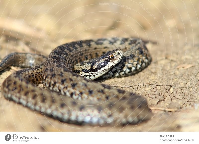 male meadow viper in situ Nature Beautiful Animal Meadow Brown Wild Fear Dangerous Europe Ground Living thing European Poison Snake Reptiles Biology