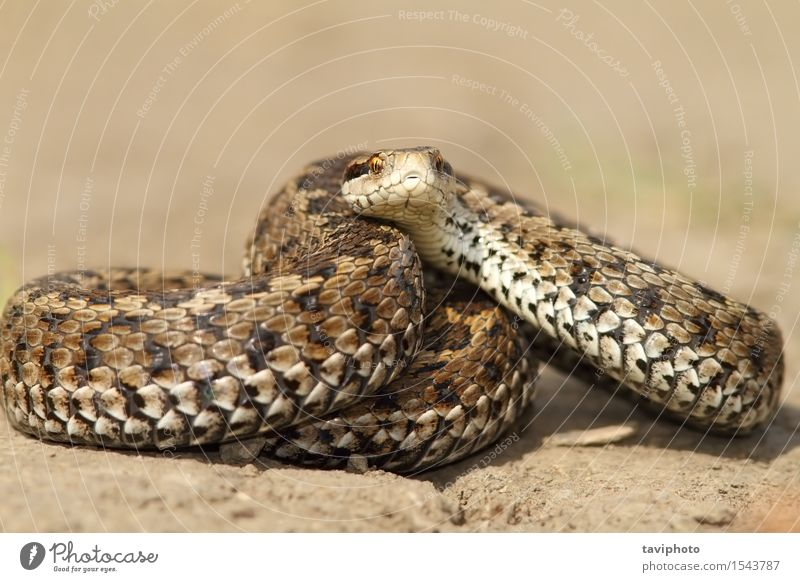 Meadow viper ready to strike Beautiful Nature Animal Snake Uniqueness Wild Brown Fear Dangerous Colour reptilian scales Reptiles rakosiensis poisonous vipera
