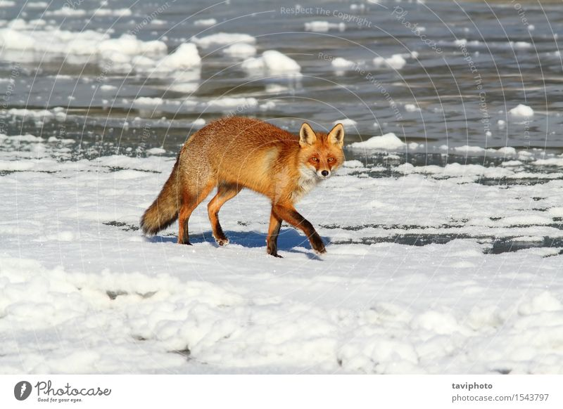 fox walking on ice Beautiful Hunting Winter Snow Nature Animal Fur coat Dog Small Natural Cute Wild Brown Red White predator Fox Mammal cold wildlife orange