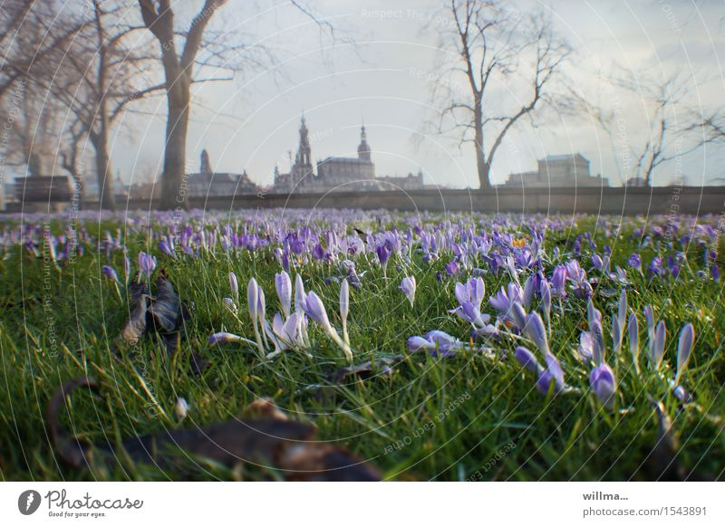 spring in dresden Spring Crocus Dresden Blossoming Spring day Meadow Elbufer Historic Buildings Skyline Colour photo Exterior shot Deserted