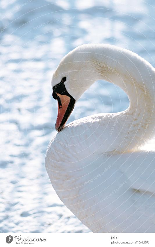 winter beauty III Swan Elegant Animal Beak Neck Bird Feather White Winter Snow Cold Beautiful Esthetic Pride