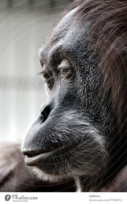 Black Gray Brown Wild animal Animal face Gorilla