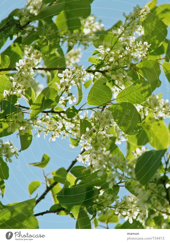 spring blossoms Spring Blossom Blossoming White Bright green Light blue Green Spring colours Nature Beautiful Beautiful weather Warmth Airy Leaf Sky