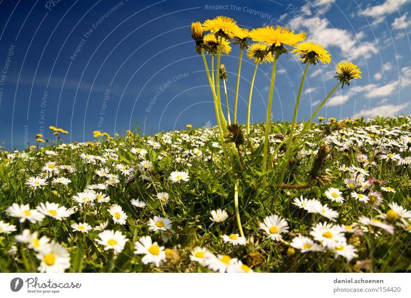 Sky Blue Summer Yellow Meadow Spring Warmth Dandelion Daisy