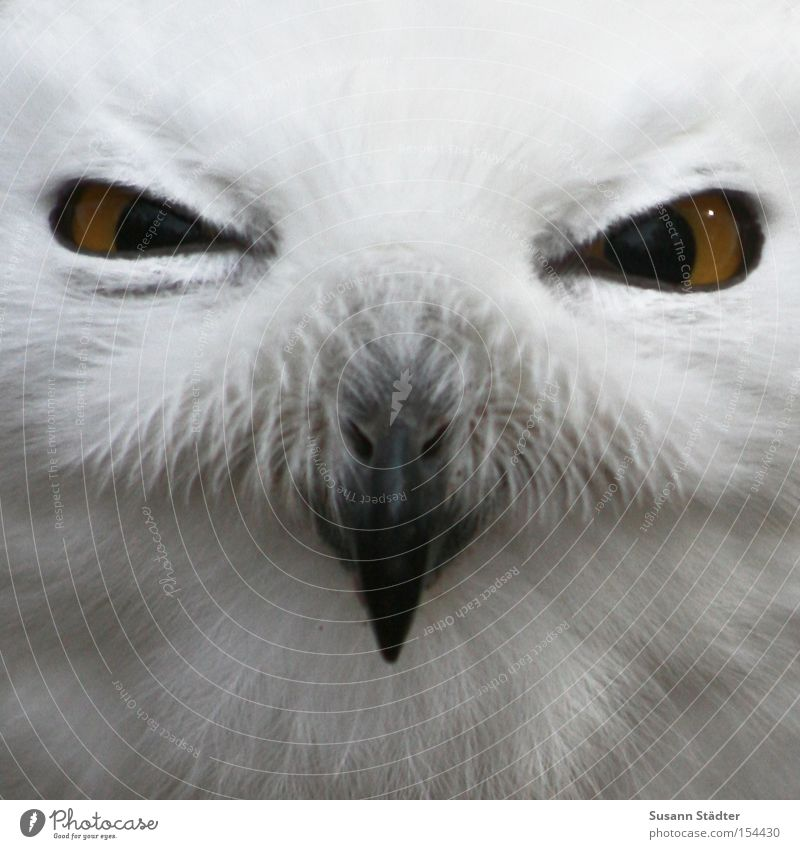 Snowy owl face III Owl birds Zoo Bird of prey Feather Patch White Pelt Beak Black Yellow Winter Cold Eyes