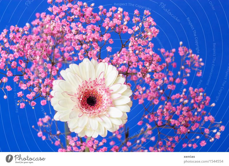white-pink gerbera with gypsophila against a blue background Gerbera Mother's Day Birthday Flower Bushes Blossom Baby's-breath rose veil Gypsophila composite