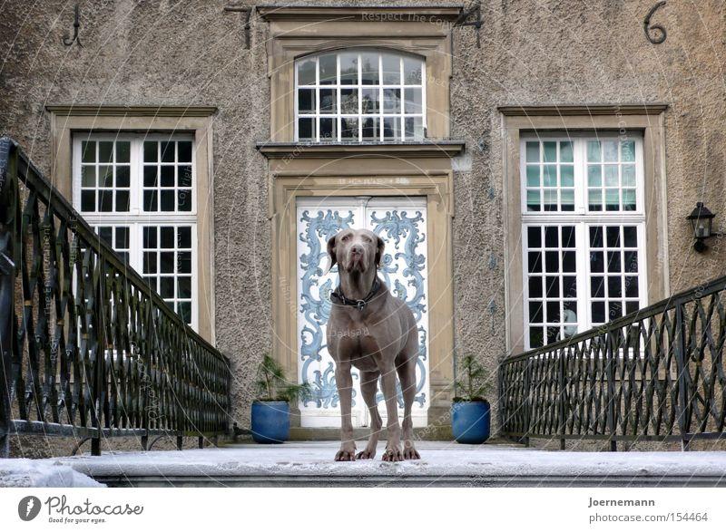 lock dog Lord of the castle Castle Castle gate Dog Weimaraner Portal Aristocracy Dignity Earnest Safety Mammal Landmark Monument Watchdog