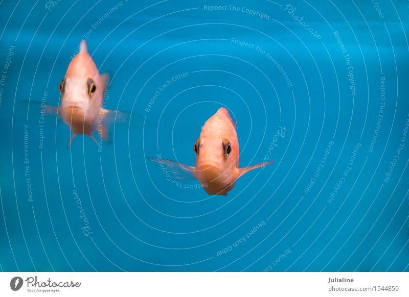 Aquarium fish aulonocara in freshwater Exotic Decoration Fish 2 Animal Pink Turquoise chichlidae Freshwater Colour photo