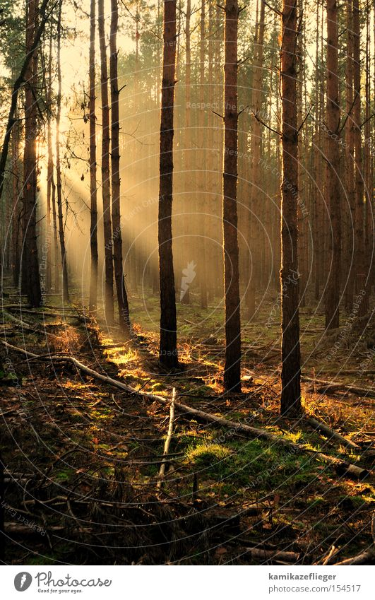 Tree Sun Winter Forest Gold Branch Moss Light Pine Clearing Celestial bodies and the universe Undergrowth Forest path Winter morning