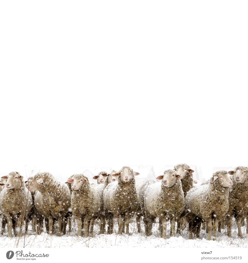 The mean winter sheep. Winter Snow Environment Snowfall Pet Farm animal Group of animals Herd Stand Wait Simple Together Cold White Loneliness Stupid Esthetic