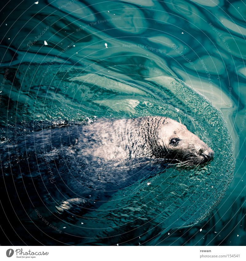 passionate swimmer Harbour seal Ocean Seals Water Mammal Animal face Animal portrait Looking into the camera Float in the water