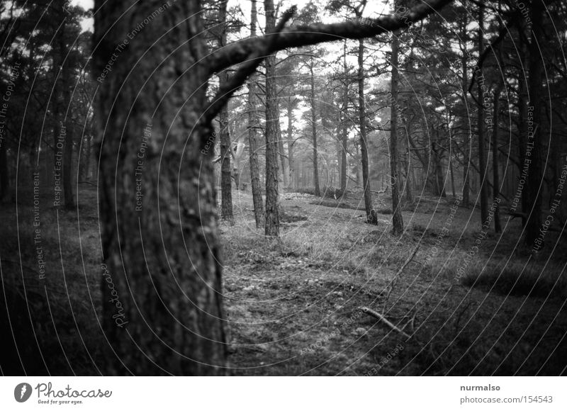 forest realism Forest Pine Island Baltic Sea Wind cripple Plantation Winter Woodground Moss Tree bark Tree trunk Branch Analog Black & white photo