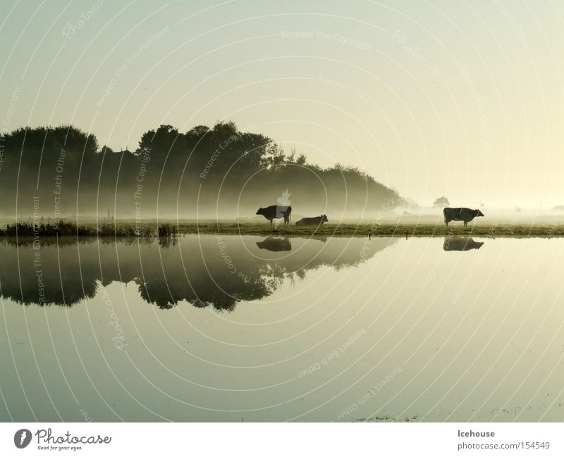 morning mood Rain Deluge Fog Cow Lake Reflection Autumn Dawn Calm Water