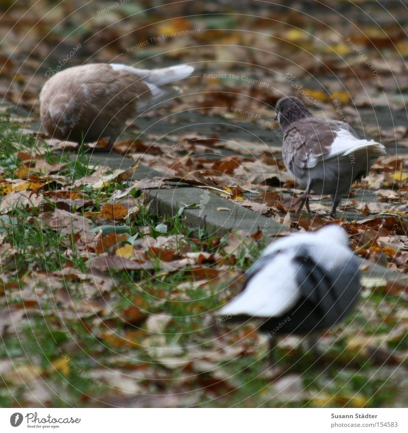 Leaf Autumn Meadow Grass Bird Dirty Corner To feed Pigeon Feeding Colouring Annoy