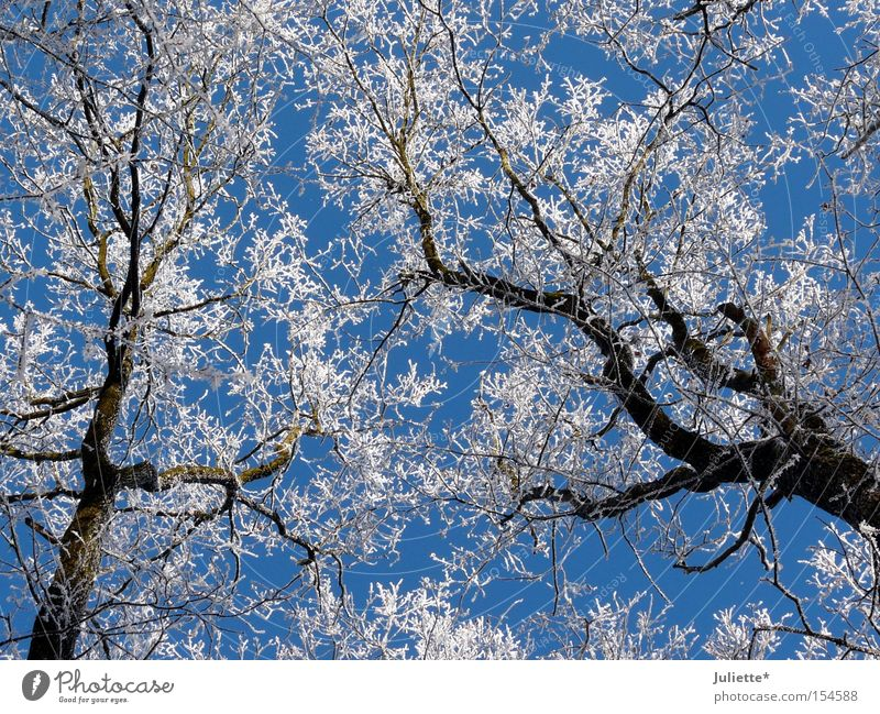 white crowns Snow Treetop Winter Branch Cold Minus degrees White Sky Blue Looking up Beautiful