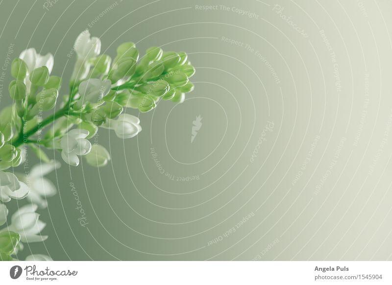 Nature Plant Green White Flower Spring Garden Fresh Lilac