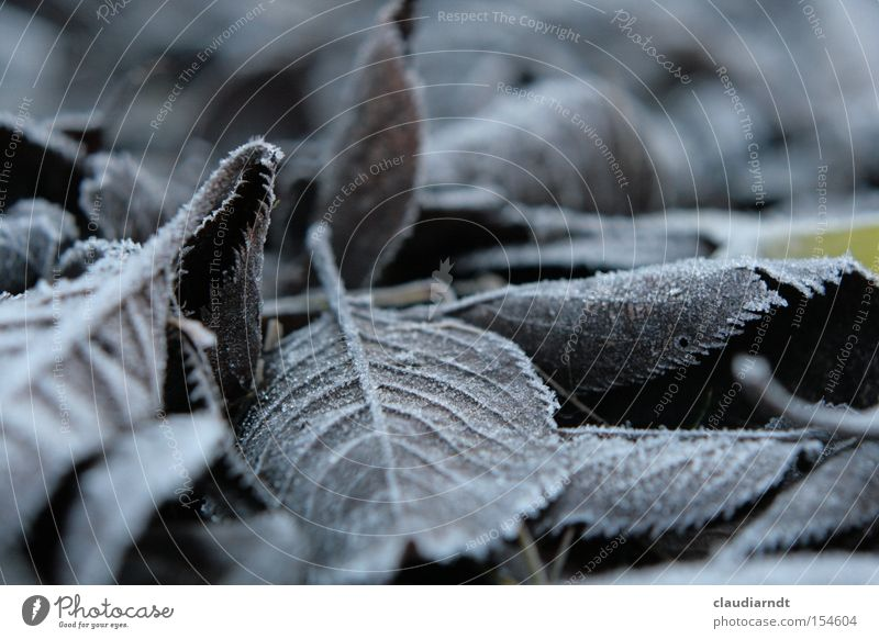 ice leaves Cold Frost Winter Hoar frost Ice Ice crystal Freeze Frozen Leaf Gray Gloomy Motionless Transience Snow