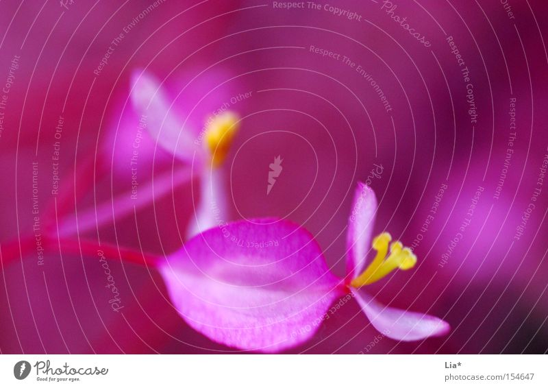 Red Flower Colour Small Blossom Pink Crazy Kitsch Delicate Near Blossoming Blossom leave Intensive Bright yellow