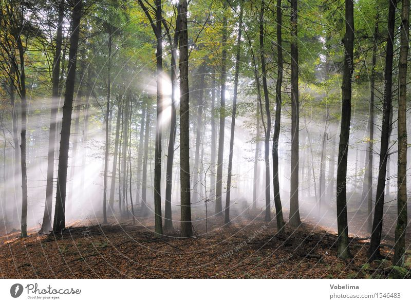 Sunbeams in the forest Nature Landscape Weather Fog Tree Forest Brown Green Black White Moody Idyll Beam of light sunny Colour photo Exterior shot Deserted