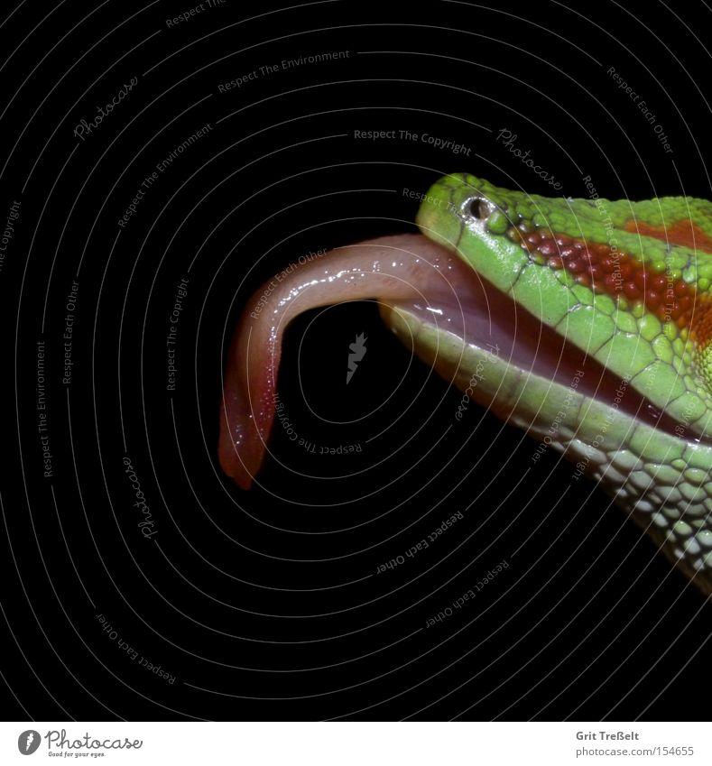 day gecko Gecko Lick Green Terrarium Red Animal Day gecko Graffiti Tongue Virgin forest Window pane