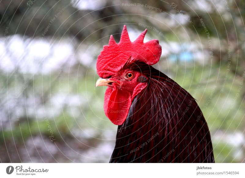 proud vadder... Nature Animal Pet Farm animal Animal face Wing Rooster 1 Beautiful Uniqueness Crest Beak Eyes Feather Masculine Man Virility Impressive Easter