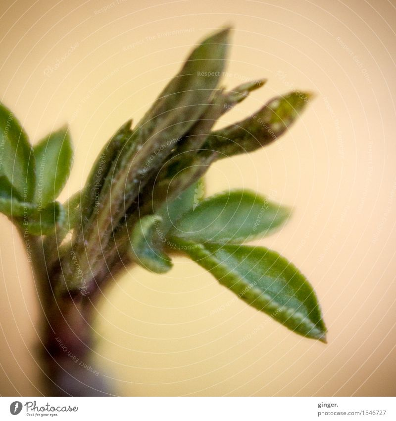 Delicate buds Nature Plant Winter Leaf Leaf bud Brown Yellow Green Beige Thread Rachis Small Multiple Growth Twig Blur Deploy curl Aspire Colour photo
