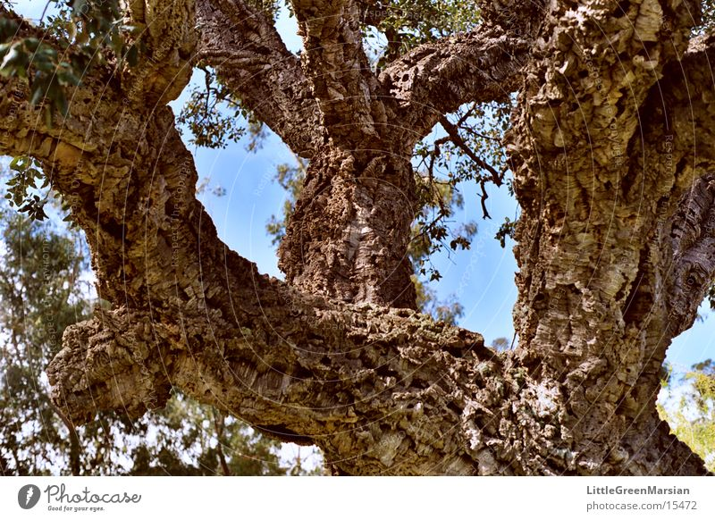 gnarled Cork oak Headstrong Relief Corsica Structures and shapes blue sky Old