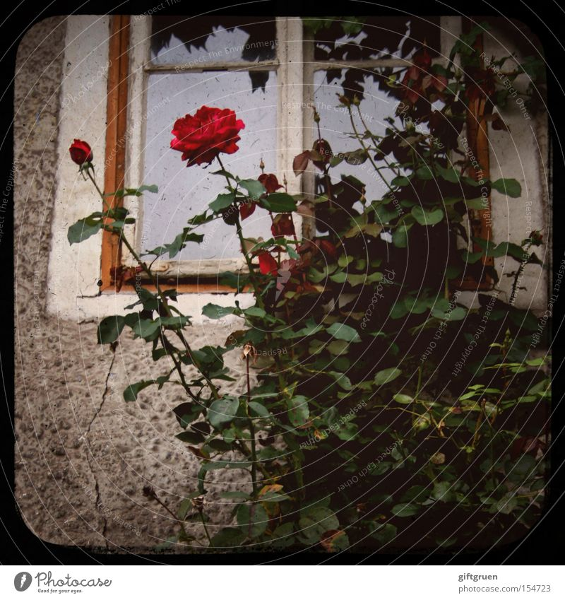Odor Old Flower Plant Red House (Residential Structure) Window Facade Rose Fragrance Symbols and metaphors Romeo and Juliet