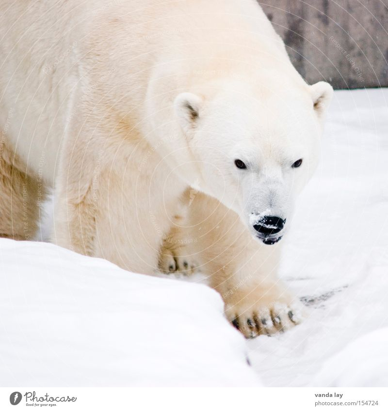 White Winter Animal Cold Snow Ice Walking Adventure Dangerous Frost Animal face Threat Climate Pelt Zoo Wild animal
