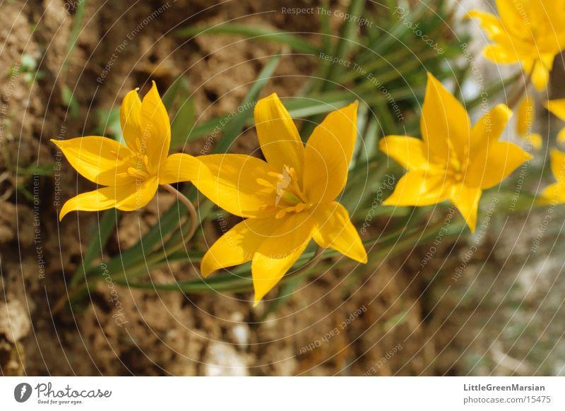 wild tulips Tulip Yellow Flower Star (Symbol) Wild animal Garden Sun Floor covering