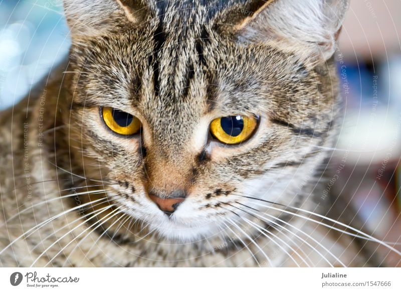 Cat portrait with yellow eyes Animal Moustache Pet Stripe Yellow Gray Mammal whiskers sideburns Colour photo
