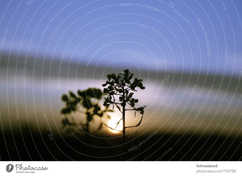 The Sun goes down Sunset Tree Nature Visual spectacle Sky Contrast Evening Light Shadow Twig Plant Beautiful Medicinal plant Weed Exterior shot