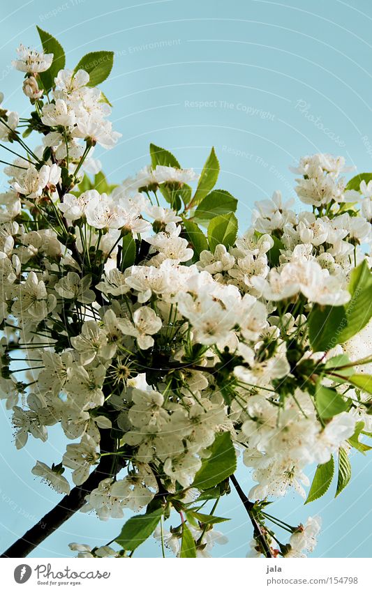 flowerage Apple blossom Cherry blossom Blossom Branch Tree White Green Sky Blue Summer Spring Warmth Park Clarity