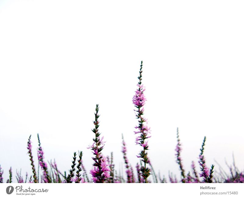 Sky White Green Plant Blossom Pink Violet Blade of grass Chaos Muddled