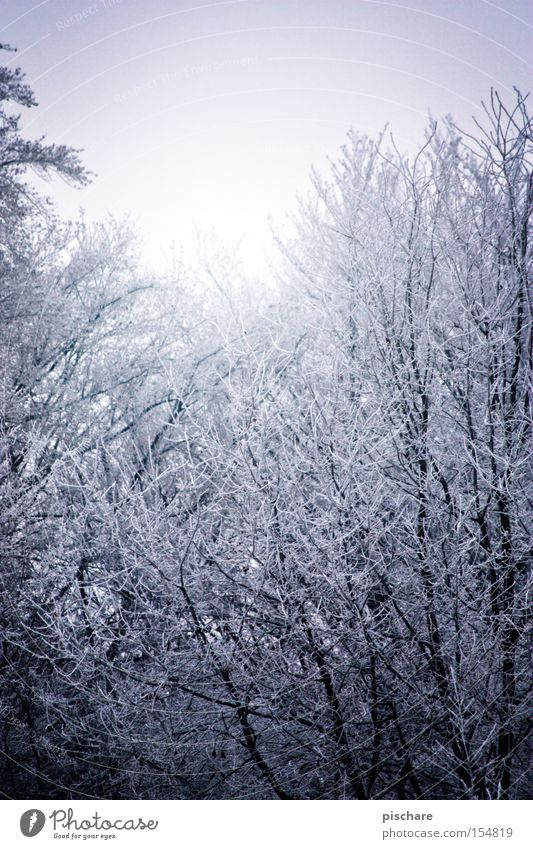 Blue Tree Winter Forest Cold Snow Ice Frost Branch Hoar frost
