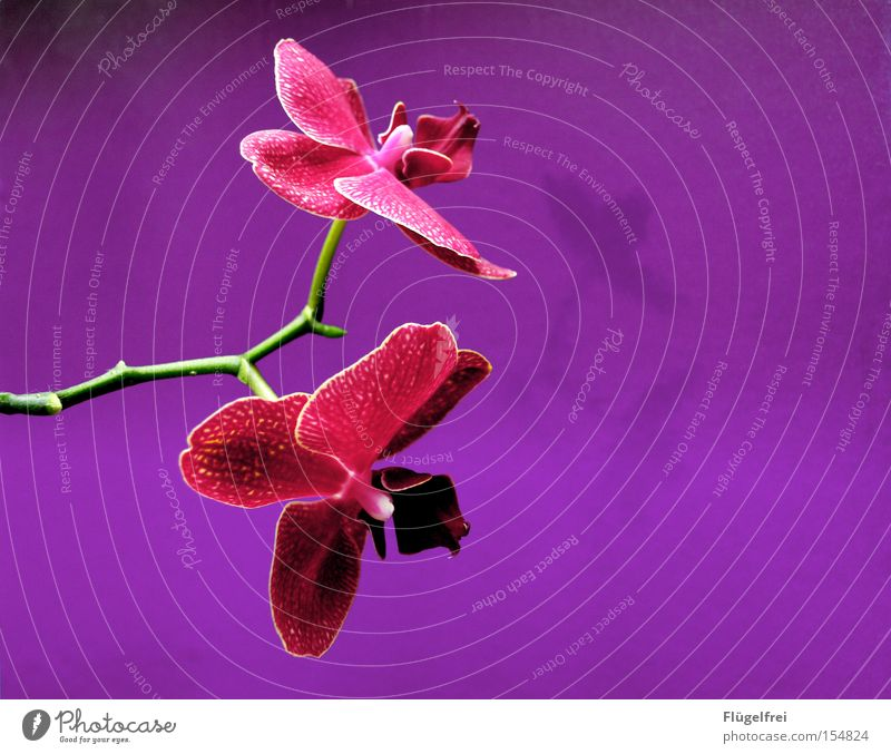 orchid Exotic Beautiful Summer Environment Nature Plant Flower Orchid Blossom Growth Violet Pink Stalk Dye Structures and shapes Neutral Multicoloured