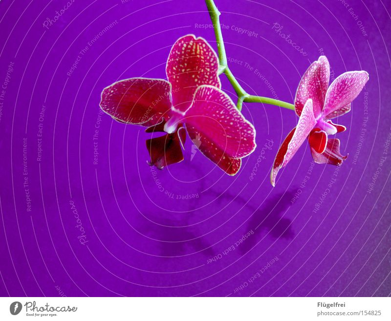 orchid Exotic Beautiful Environment Nature Plant Flower Orchid Blossom Growth Violet Pink Stalk Contrast Multicoloured Interior shot Copy Space left