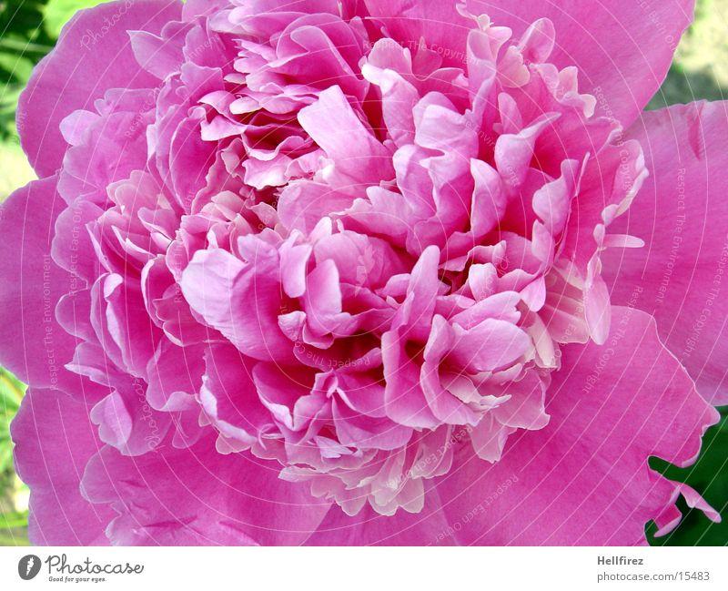 Flower Spring Pink