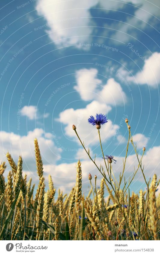 Sky Nature Blue White Summer Clouds Environment Life Healthy Field Food Growth Nutrition Pure Grain Agriculture