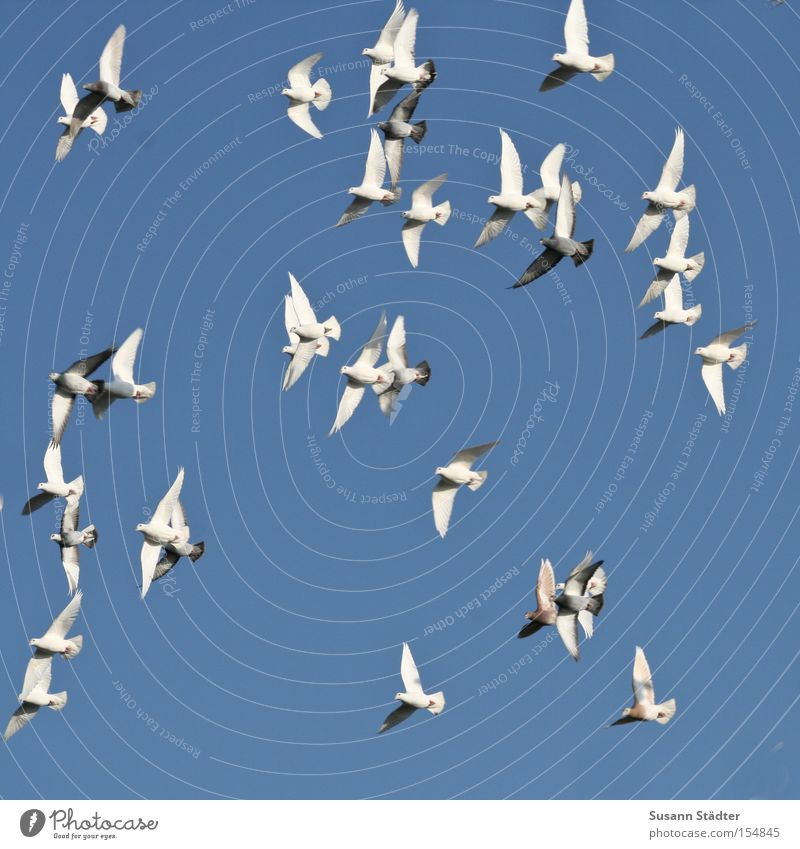 White Freedom Air Bird Flying Pigeon Blue sky Floating Sky blue Cloudless sky Flock of birds Maximum Flight of the birds Clear sky Bright background