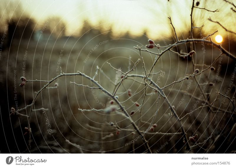 freezing cold of the rose hips Morning Frost Cold Rose hip Bushes Branch Thorn Sun Dawn Nature Wild animal Beautiful Esthetic Winter little man folk song