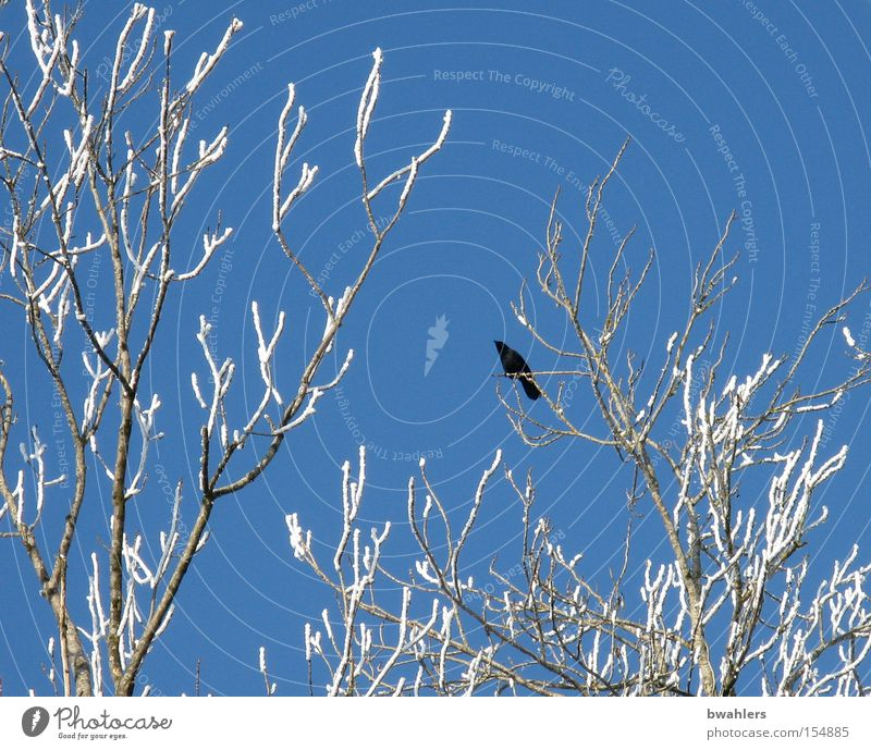 Sky White Tree Blue Winter Cold Snow Ice Bird Branch Frozen Height Crow