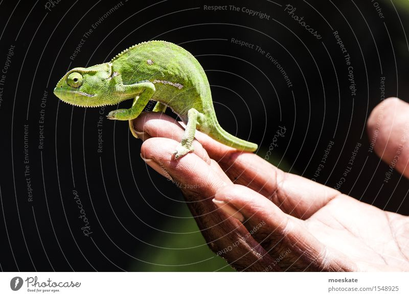 Chameleon in Kruger Park 1 Animal Carrying South Africa Safari Reptiles Reptile eye Hand To hold on Colour photo Subdued colour Day Shallow depth of field