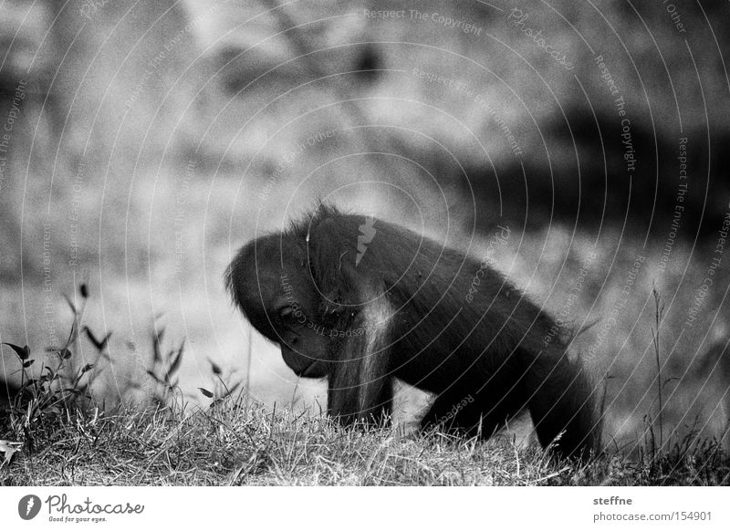 Orangutan Klaus Monkeys Young monkey Apes Orang-utan Forest-dweller Borneo Sumatra Sweet Black & white photo Asia Mammal