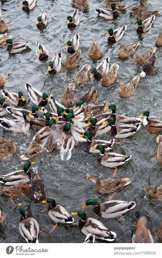 snack Bread Roll Summer Water Waves Lakeside Pond Wild animal Bird Animal face Wing Pelt Paw Duck birds Group of animals Flock To feed Feeding Fight Voracious