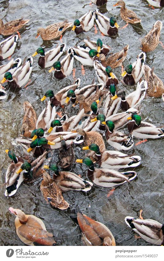 garbENTEich Vacation & Travel Water Drops of water Summer Park Pond Lake Animal Wild animal Bird Wing Paw Duck Pack To feed Feeding Fight Aggression Wet